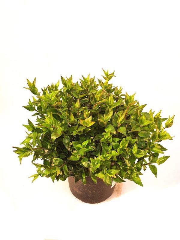 Abelia-Verde-Lite-Beau-Vaso