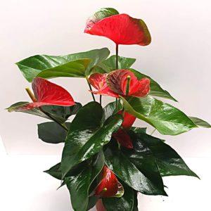 Anturium-Andreanum-Red-Vaso-17cm