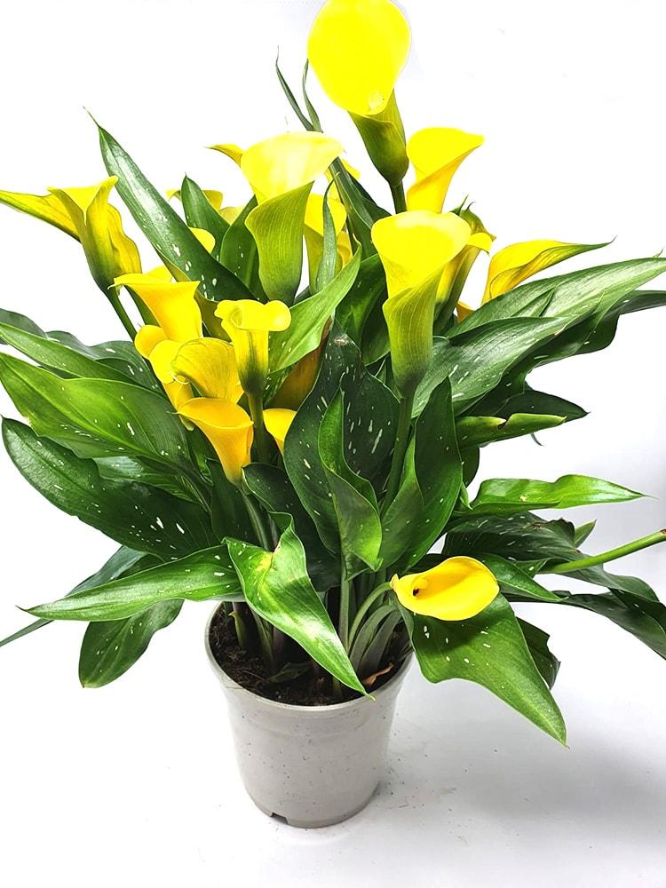Calla Colorata Pianta in Vaso da Esterno - Mattarana Garden