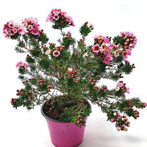 Chamaleacium-pianta-in-vaso
