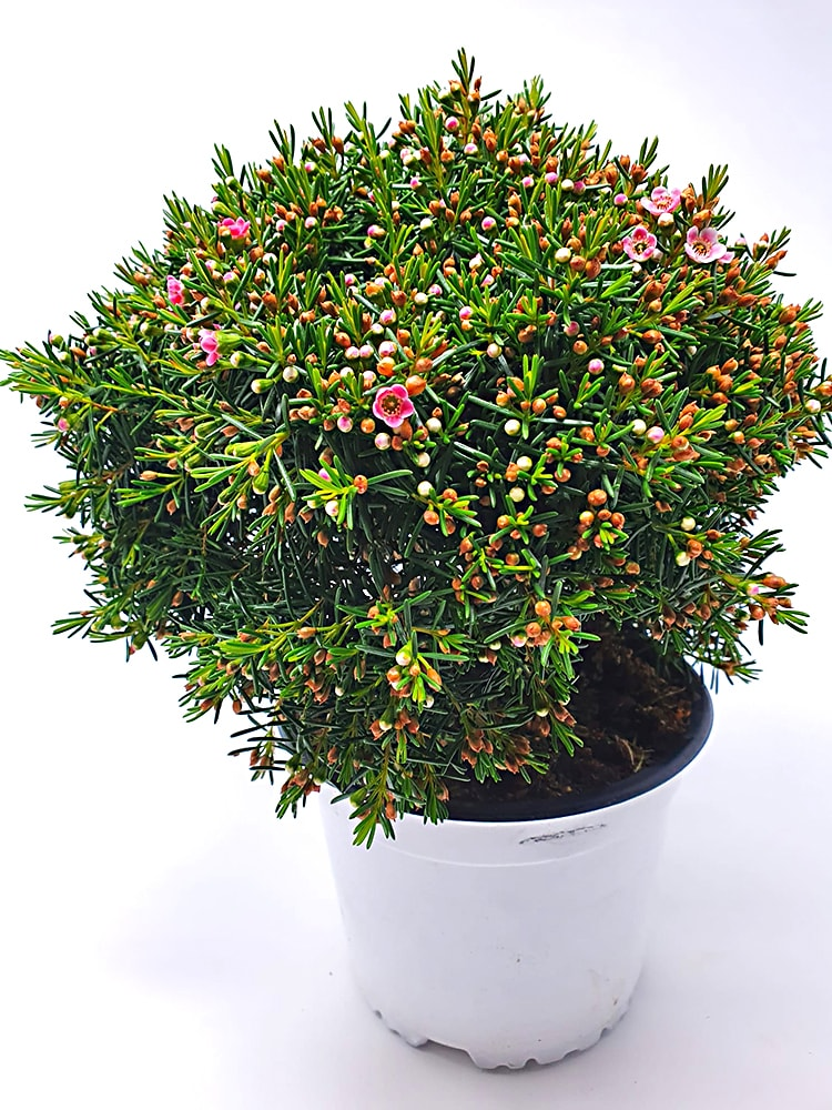 Chamaleacium Ø 15 cm Pianta da Esterno - Mattarana Garden