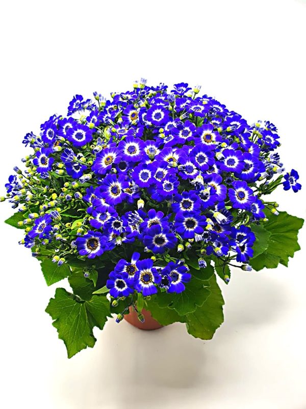 Cineraria-pianta-in-vaso