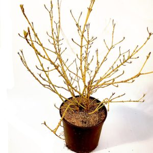 Cornus-Suite-Golden-vaso