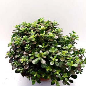 Crassula-Other-vaso-30