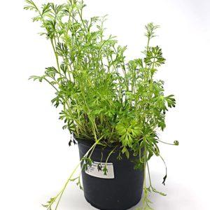 Cumino-Pianta-Aromatica-in-Vaso