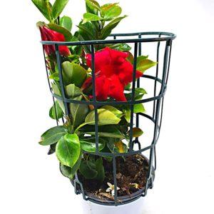 Dipladenia-pianta-in-vaso-14-cm