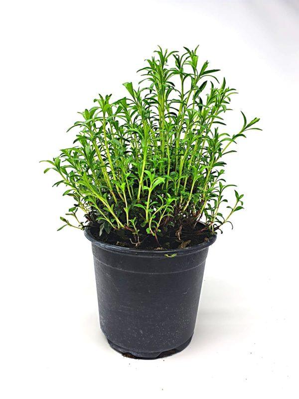 Pianta-Aromatica-in-vaso-Erba-Pepe