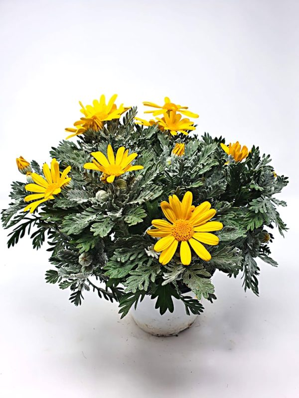 Euriopsis-pectinatus-margherita-gialla-vaso