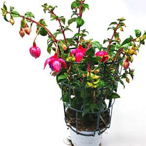 Fucsia-pianta-in-vaso