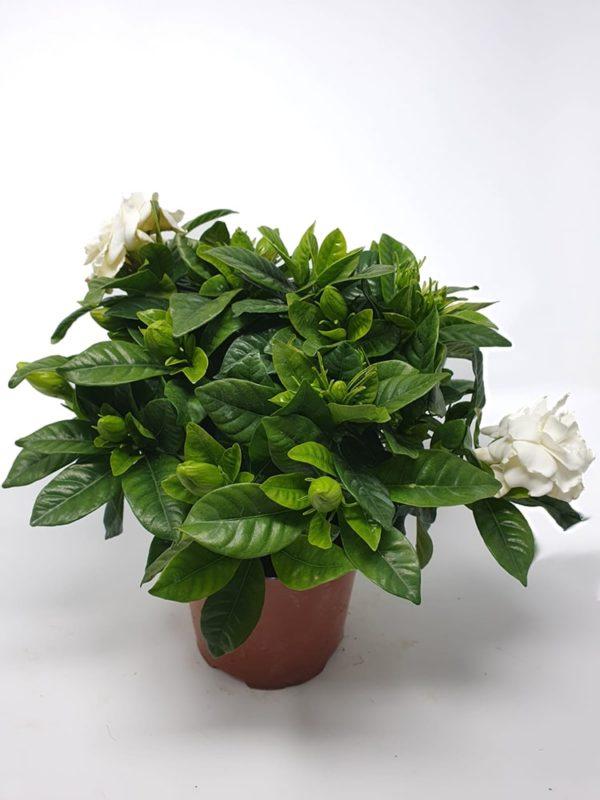 Gardenia-in-vaso