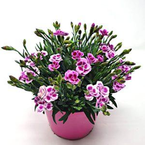 Garofano-Pink-Disse