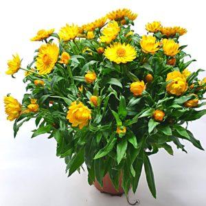 Helicrysum-Bracteatum-Vaso