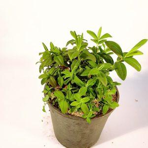 Hypericum-Callucinum-Vaso