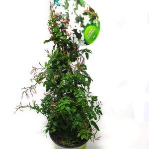 Jasmin-Polianthum-Vaso