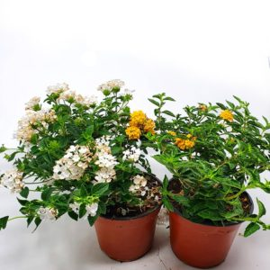 Lantana-Sellowiana-in-vaso
