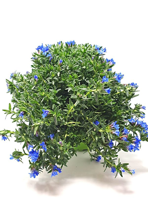 Lithodora-Diffusa-Vaso