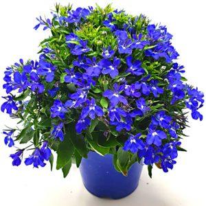 Lobelia-Blu-Vaso