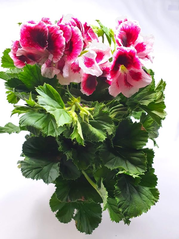 Pelargonium-Regal-vaso