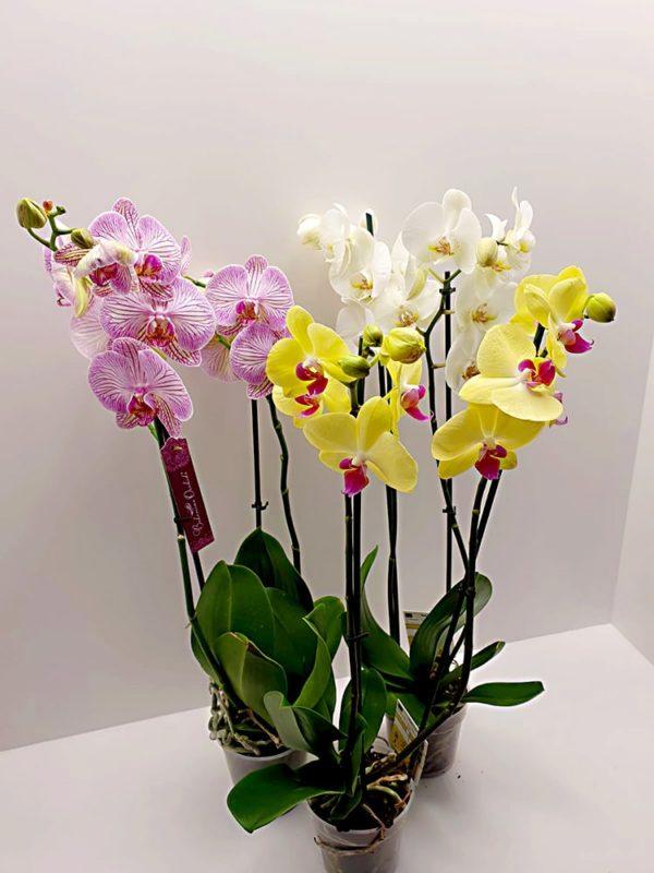 Phalaenopsis-2-rami-h-65-70cm