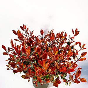 Photinia-Compacta-in-Vaso
