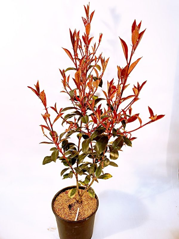 Photinia-Red-Robin-Vaso