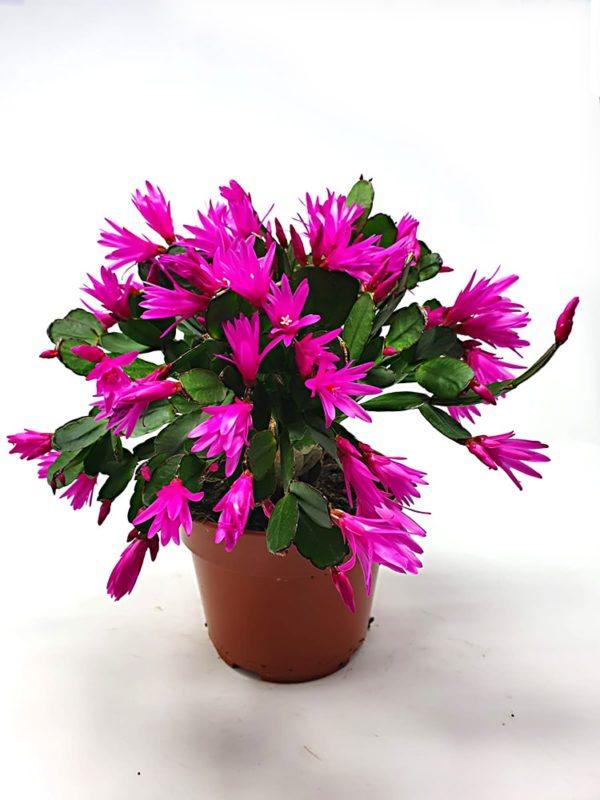 Rhipsalidopsis-Purple-Vaso