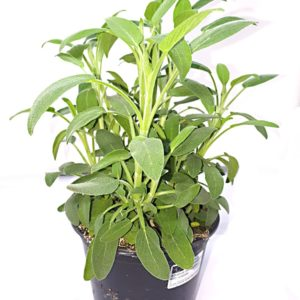 Salvia_Officinalis-in-vaso
