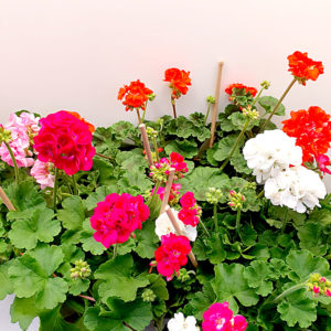 Geranio-Antico-4-colori